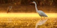 Great Egret in the morning, Mississippi